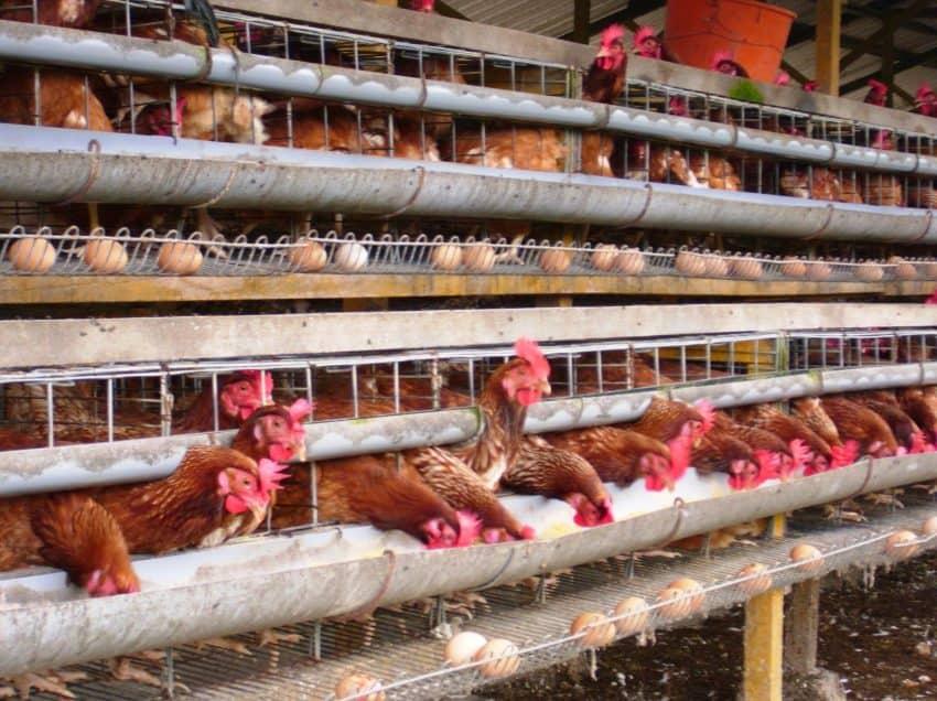 15 Cara Merawat Ayam Potong Dengan Baik dan Benar