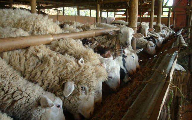 15 Cara Ternak Domba Dengan Pakan Fermentasi Arenahewan Com