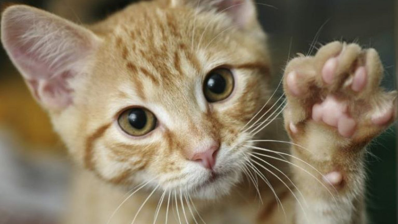 15 Cara Menjinakkan Anak Kucing Dengan Mudah Arenahewan Com
