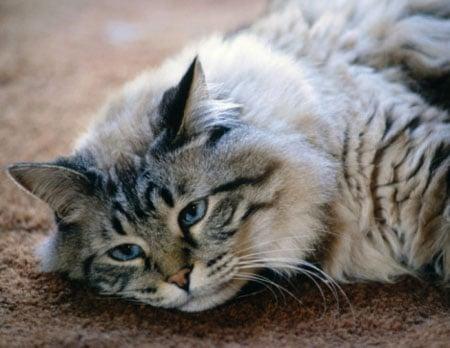 15 Cara Mengatasi Diare Pada Kucing Anggora dengan Mudah
