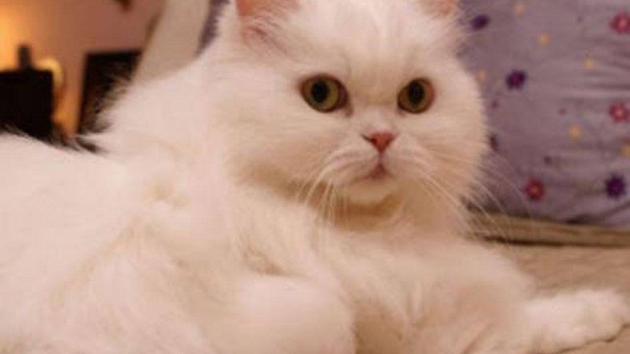Download 78+  Gambar Kucing Persia Umur 2 Bulan Terlihat Keren