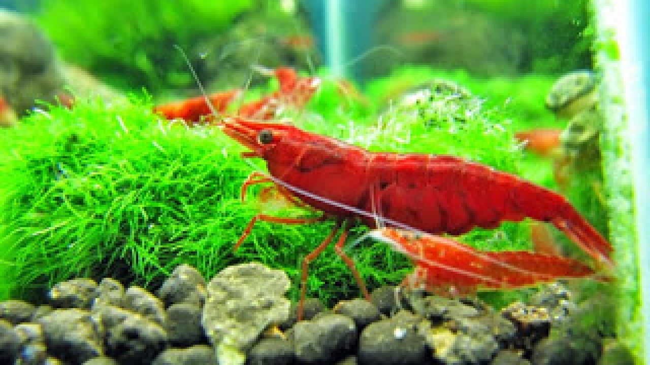 15 Cara Ternak Udang Hias Dalam Aquarium Bagi Pemula Arenahewan Com