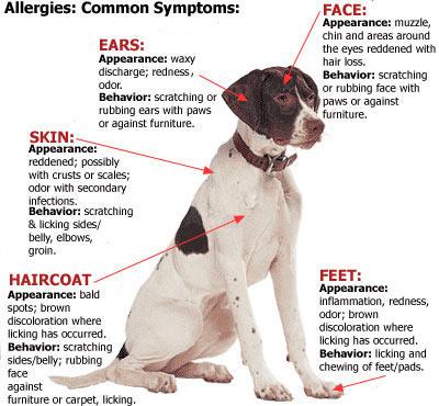 15 Tanda Anjing Alergi Makanan – Cara Mengobatinya