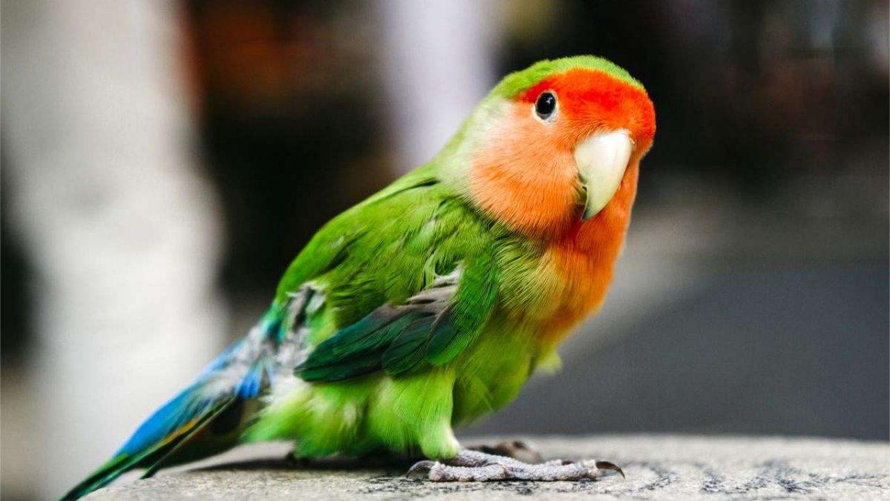 13 Cara Memelihara Lovebird Di Rumah Dengan Mudah Arenahewan Com