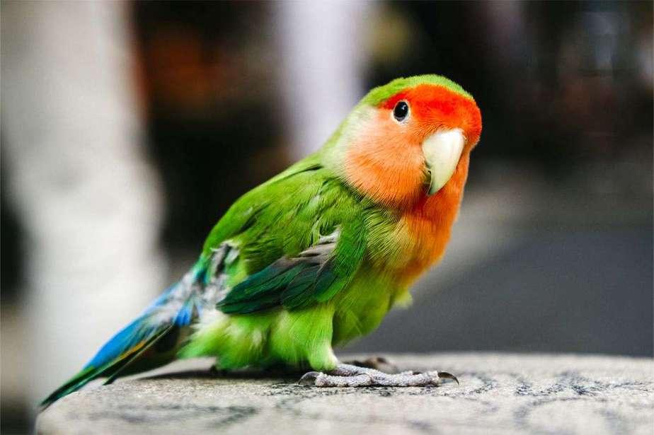 13 cara memelihara lovebird di rumah dengan mudah