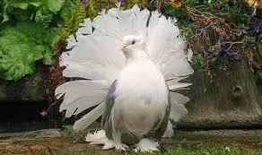 9 Cara Budidaya Burung Dara Kipas Dengan Mudah