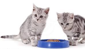 13 Cara Mengatasi Kucing Anggora Tidak Mau Makan Dengan Mudah