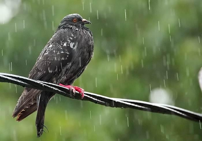 13 Cara Merawat Burung Dara Pada Musim Hujan