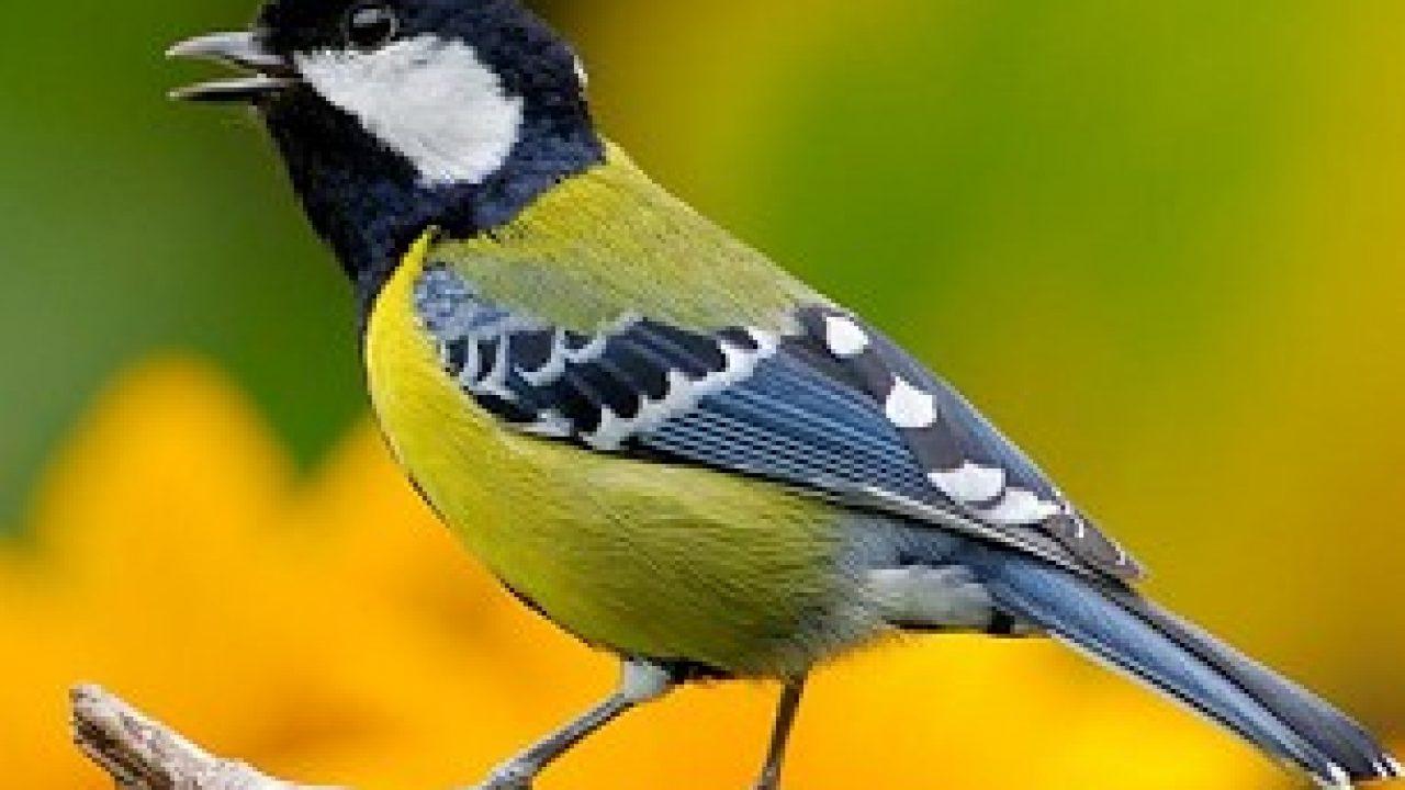 15 Cara Penangkaran Burung Gelatik Wingko Paling Lengkap Arenahewan Com