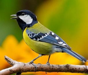 15 Cara Penangkaran Burung Gelatik Wingko Paling Lengkap