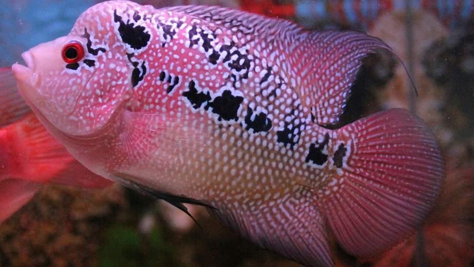 13 Cara Memelihara Ikan Louhan Agar Cepat Jenong Arenahewan Com