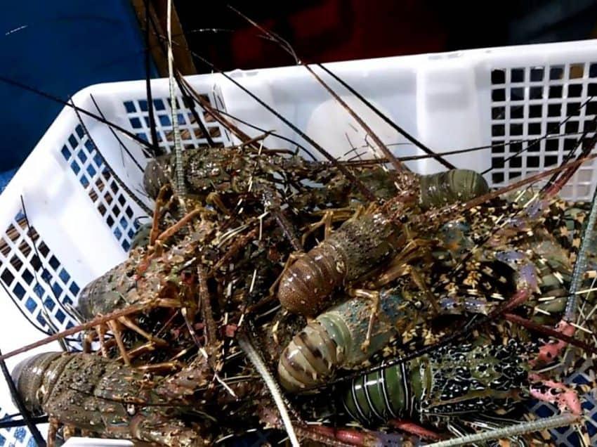 14 Cara Budidaya Lobster Mutiara Bagi Pemula