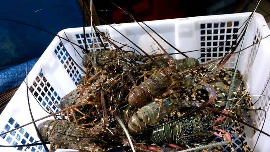 Hasil gambar untuk cara budidaya lobster mutiara