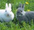 15 Tanda Tanda Birahi pada Kelinci yang Wajib Dipahami