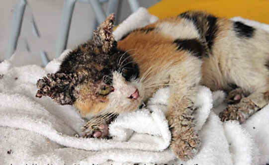 15 Cara Mencegah Scabies Pada Kucing yang Harus Dilakukan