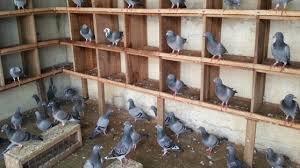 15 Cara Budidaya Burung Merpati Potong Paling Lengkap