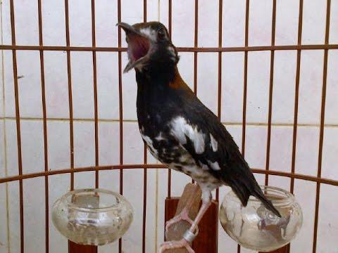 15 Cara Beternak Burung Anis Kembang Bagi Pemula