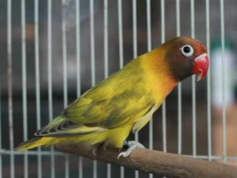 15 Cara Menurunkan Birahi Lovebird Paud Dengan Mudah