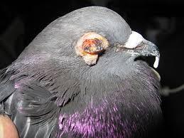 15 Penyakit Pada Burung Dara Paling Lengkap