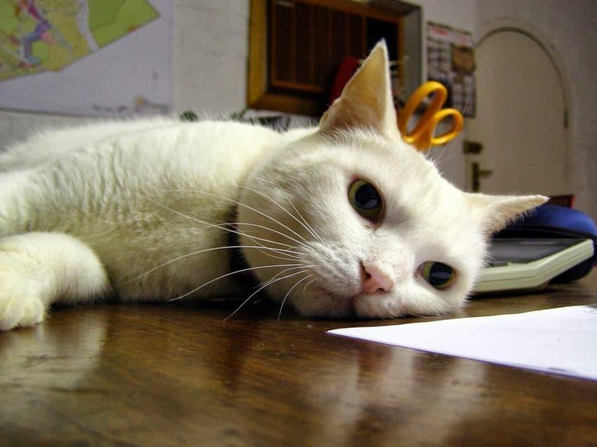 17 Cara Mengobati Kucing Demam Efektif