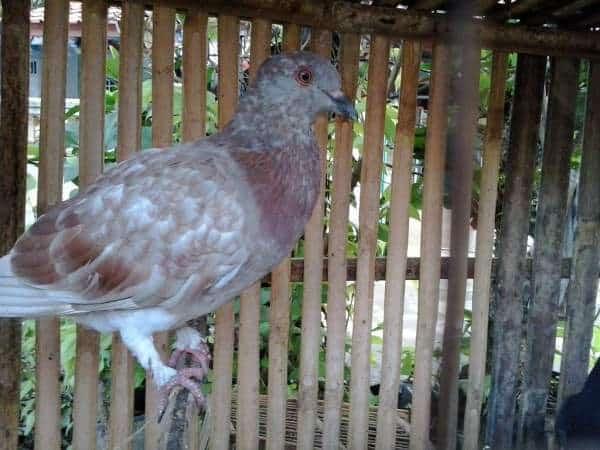 15 Cara Menghilangkan Stress Pada Burung Dara yang Harus Diketahui