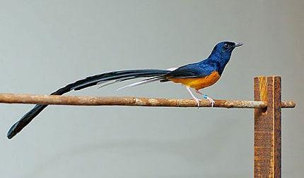 13 Cara Ternak Burung Murai Ekor Panjang
