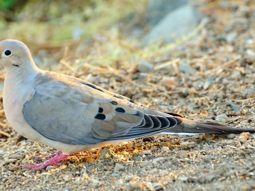 15 Cara Mengobati Batuk pada Burung Dara Beserta Uraiannya