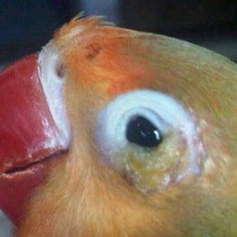 10 Cara Menyembuhkan Patek pada Burung Lovebird