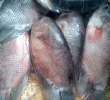 13 Cara Mengatasi Cacar pada Ikan Gurame Agar Cepat Sembuh