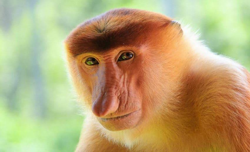 Cara Bekantan Bertahan Hidup (Monyet Asli Kalimantan)