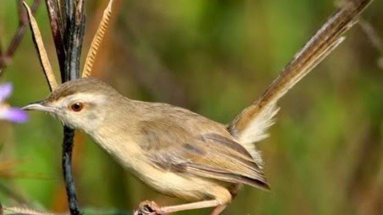 15 Cara Ternak Burung Ciblek Bagi Pemula Arenahewan Com