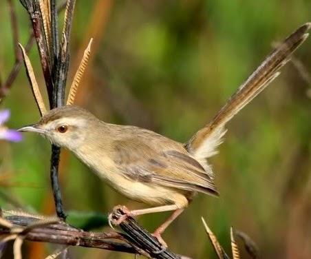 15 Cara Ternak Burung Ciblek Bagi Pemula