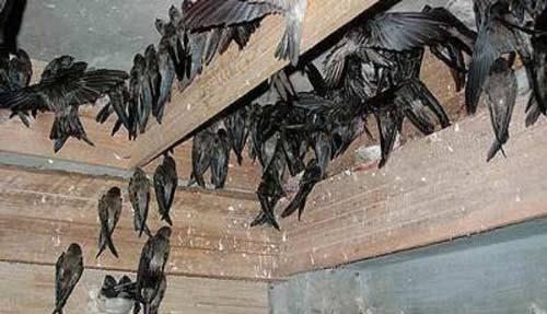 10 Cara Penangkaran Sarang Burung Walet