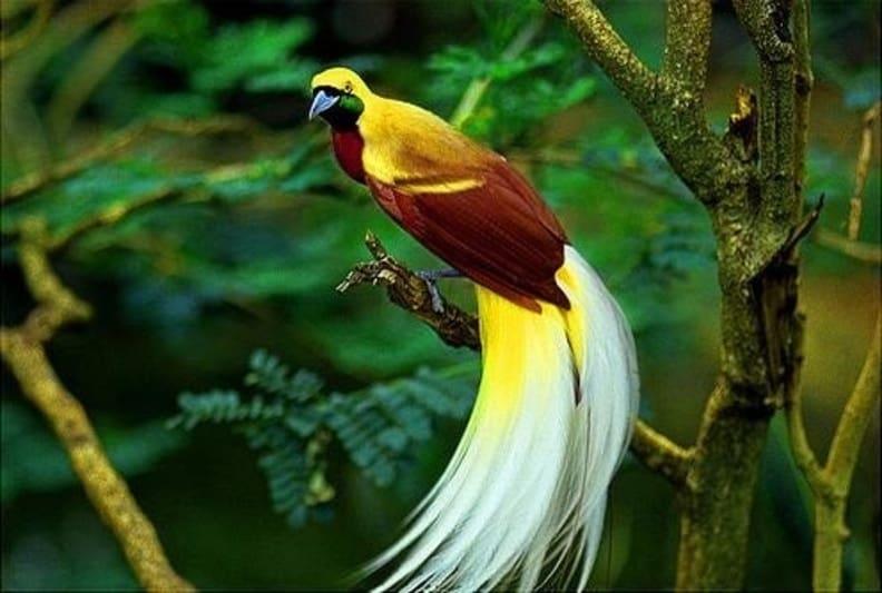 10 Cara Melestarikan Burung Cendrawasih