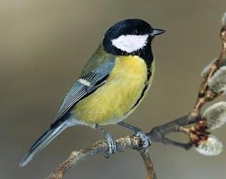 13 Cara Merawat Burung Gelatik Jawa Agar Cepat Gacor