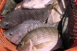 13 Cara Ternak Ikan Nila Organik Paling Lengkap