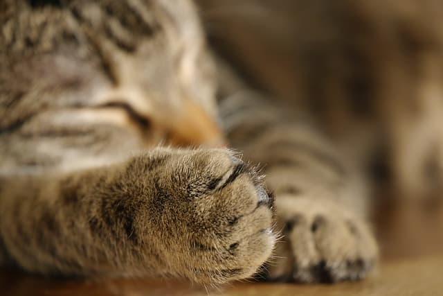 15 Cara Mengobati Bengkak Pada Kaki Kucing