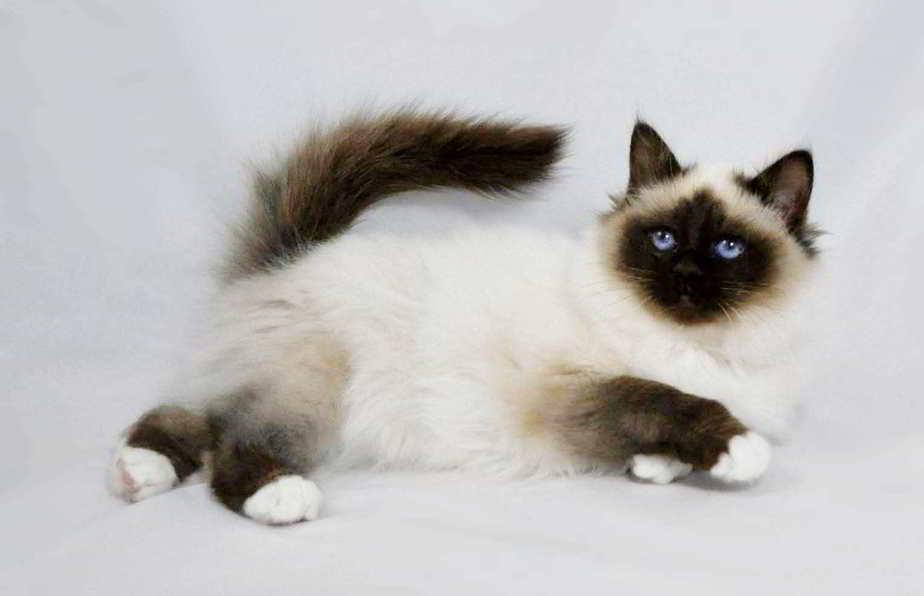 10 Cara Membuat Kucing Betina Mau Kawin Arenahewan Com