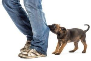 , Cara Menjinakkan Anjing Chihuahua, Carles Pen, Carles Pen