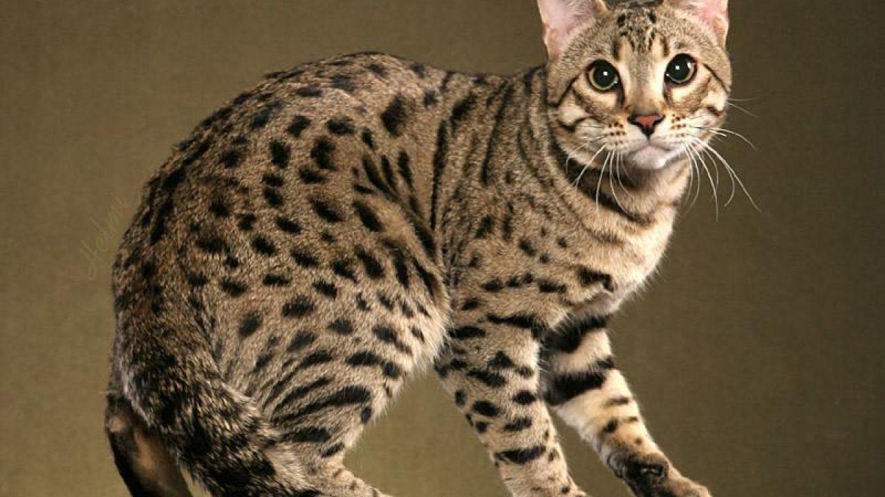 Gambar Kucing Hutan Jawa godean.web.id