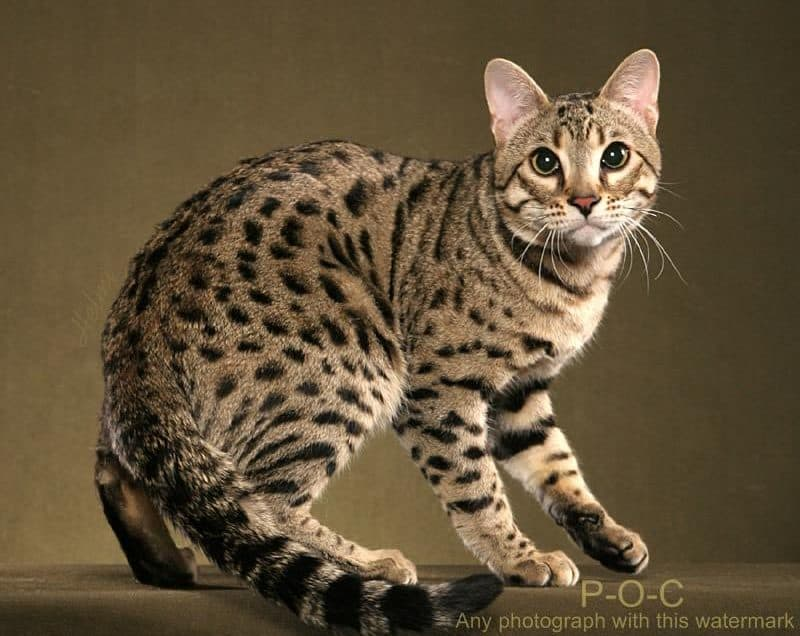 10 Cara Memelihara Kucing Hutan Agar Jinak