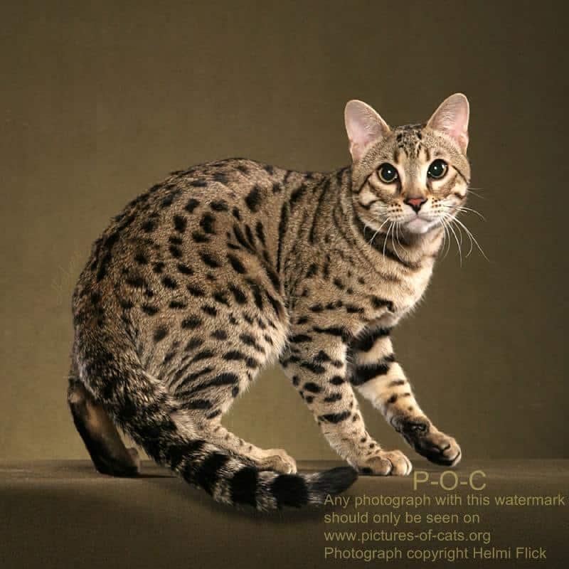 10 Cara Memelihara Kucing Hutan Agar Jinak Arenahewan Com