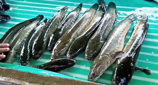 13 Cara Ternak Ikan gabus di kolam tanah