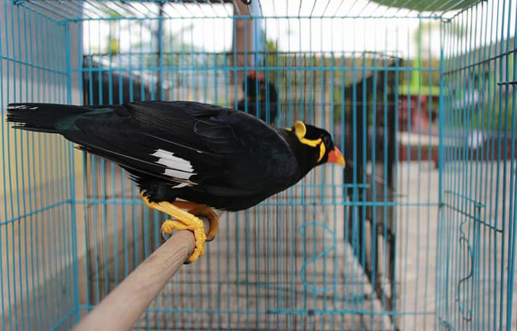 13 Cara Membuat Burung Beo Cepat Bicara