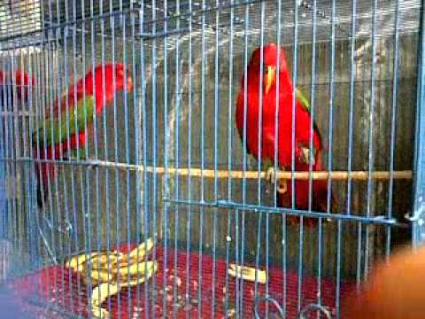 15 Cara Menghilangkan Kutu Pada Burung Nuri