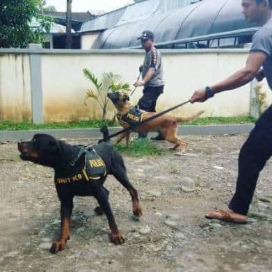 13 Cara Membuat Anjing Agresif –  Lengkap dan Ampuh