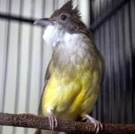 10 Cara Merawat Burung Cucak Jenggot Agar Memiliki Performa Terbaik