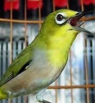 13 Cara Untuk Burung Pleci Cepat Gacor