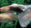 13 Cara Menghindari Inbreeding pada Ikan Budidaya paling Ampuh