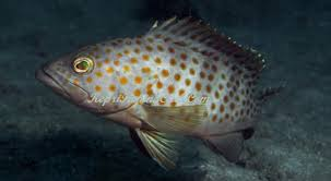13 Cara Budidaya Ikan Kerapu di Tambak Bagi Pemula